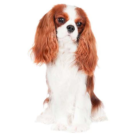 king charles breed cavalier king charles spaniel cavalier king charles spaniel pet insurance