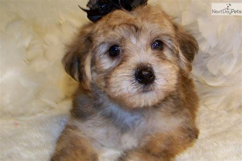 yorkie puppies for sale in missouri st louis yorkiepoo yorkie poo puppy for sale near st louis missouri 6d94164e 5771