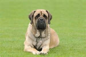 Comfort Spaniel English Mastiff Pictures Wallpapers9