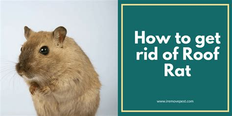 how to get rid of rats in backyard how to get rid of roof rats in yard best image voixmag com