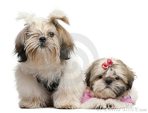 3 month shih tzu shih tzu s 7 months and 3 months stock photo image 16821920