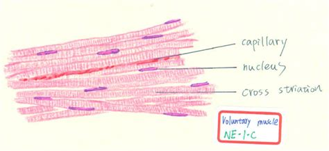 skeletal muscle longitudinal section muscle