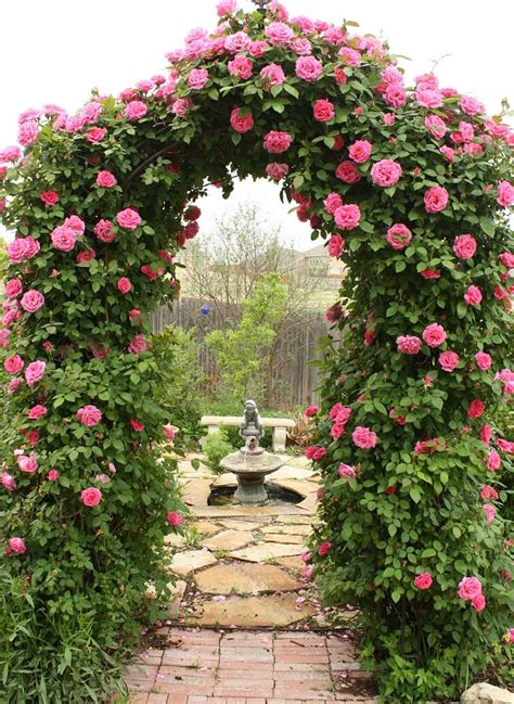 how to plant climbing roses climbing trellises corner