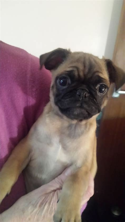 pug jug pug cross jug puppies swansea swansea pets4homes