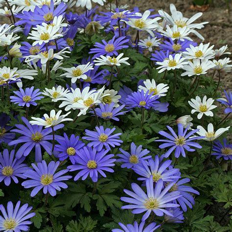 anemone blanda anemone blanda blue white
