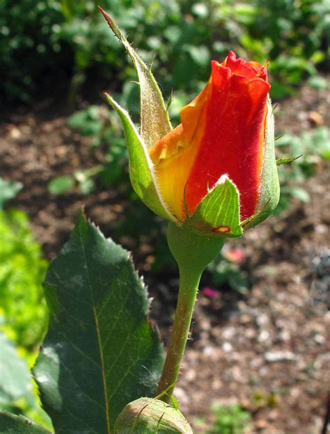 Single Bud single bud www pixshark images galleries with a bite