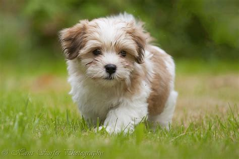 what are havanese puppies a walking havanese puppy of 8 5 weeks view awards count flickr