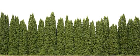privacy trees these 4 grow the fastest fast growing