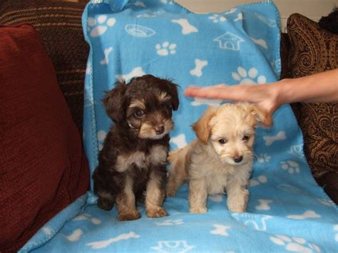 chihuahua poodle puppies chihuahua x poodle mansfield nottinghamshire