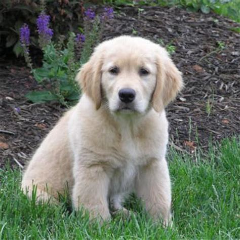 golden retriever puppies images golden retriever puppies pictures the animal