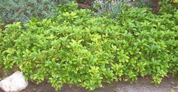 1000 images about ground cover plants on pinterest