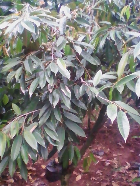 pohon durian montong cangkokan berbuah tukang taman