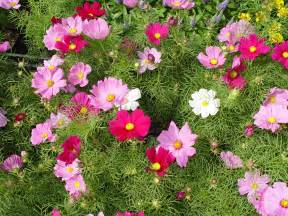 in my garden cosmos dance in your garden