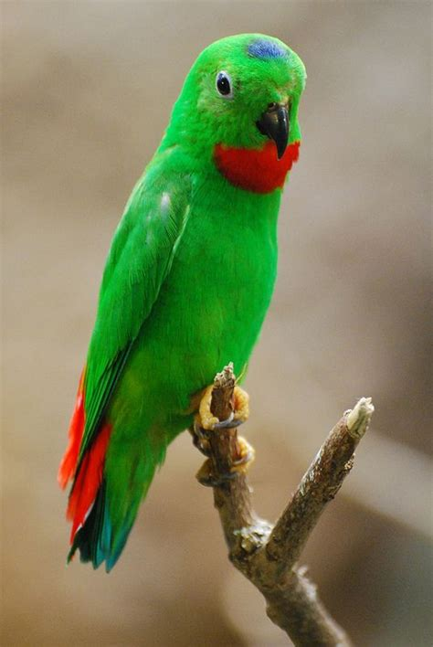 blue crowned hanging parrot by writhedhornbill parrots