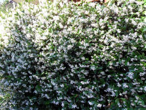 fiori gelsomino gelsomino target point