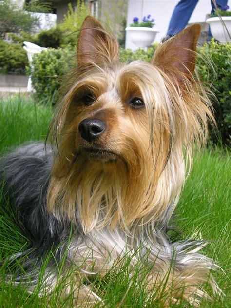 australian yorkie 25 best ideas about silky terrier on