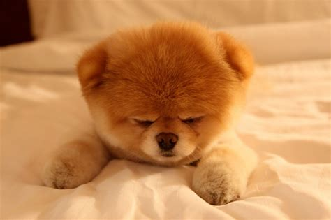 prettiest dogs boo the cutest sleepy hd wallpaper animals wallpapers