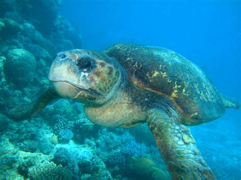 sea turtle ls top world pic great barrier reef