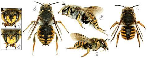 Linnaeus Wool anthidium manicatum wool carder bee image biolib cz