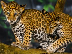 Jaguars In Rainforest Rainforest Jaguar Rainforest Animals
