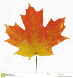leaf colors maple leaf in fall color royalty free stock images