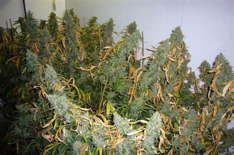 wann cannabis ernten wann soll hanf ernten um viele wirkstoffe zu haben