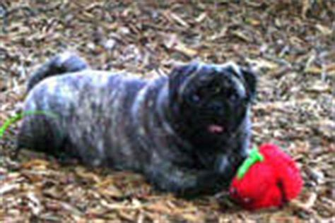 pug colors and markings pug club of colour