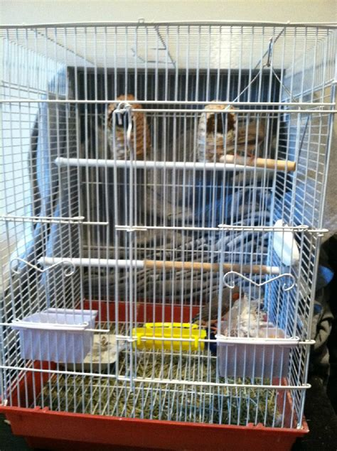 zebra finch housing strawberry finch facts as pets behavior care pictures