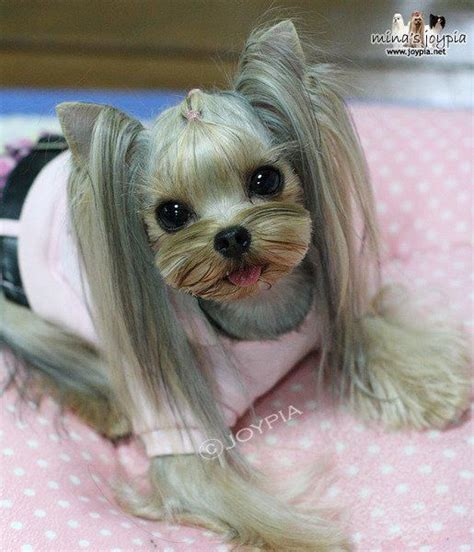 yorkie haircuts pictures only short yorkie haircuts pictures only