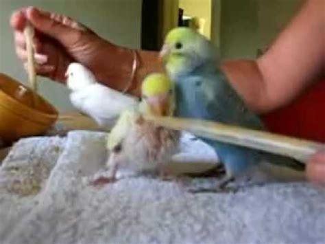 Burung Unyu 2 Bird lovebird unyu unyu cubit telinga d funnycat tv