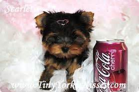 yorkie puppies for sale sacramento ca your source for tiny and teacup yorkie puppies for sale local in vacaville northern