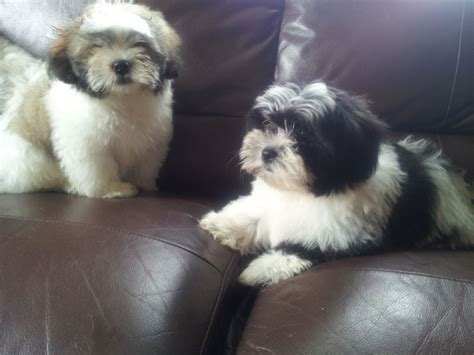 shih tzu x bichon puppies black bichon frise shih tzu mix picture breeds picture