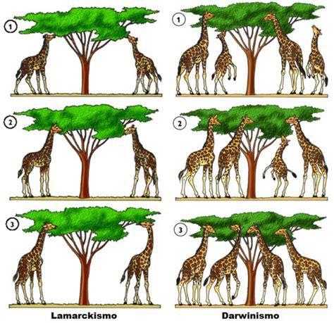 Imagenes De Las Jirafas De Darwin | ciencia en palabras 9 las jirafas de lamarck los gemelos