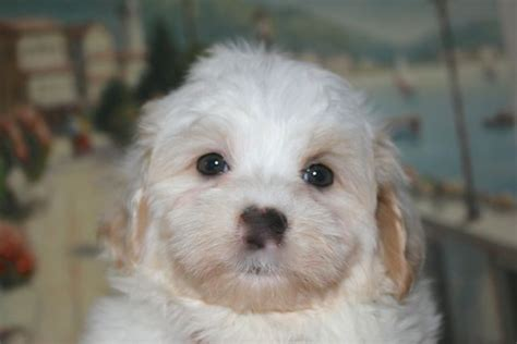 apricot havanese chocolate havanese puppy chocolate havanese puppy for sale chocolate havanese