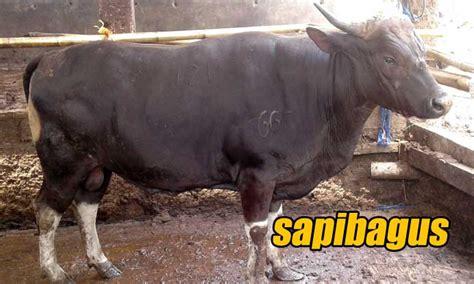 Timbangan Untuk Sapi promo jual sapi bali timbangan faktur mulai 53rb per kg