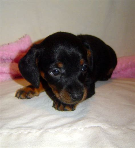 micro mini dachshund puppies for sale nc miniature dachshund dachshunds carolina miniature dachshund puppies for sale nc