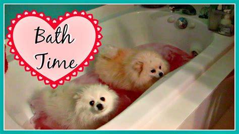 how to bathe a pomeranian our pomeranians yorkie dogs bath time