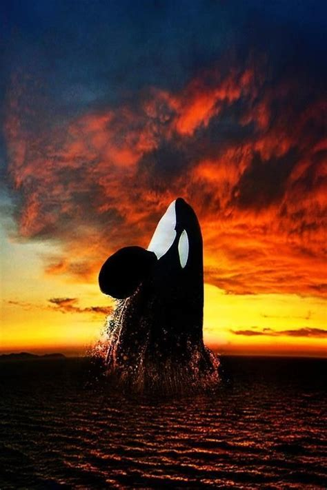 Sunset Orca Pin Warrior Pins - killer whale rising at sunset the sea