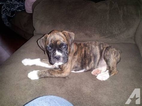 brindle boxer puppies for sale sealed brindle boxer puppies for sale breeds picture