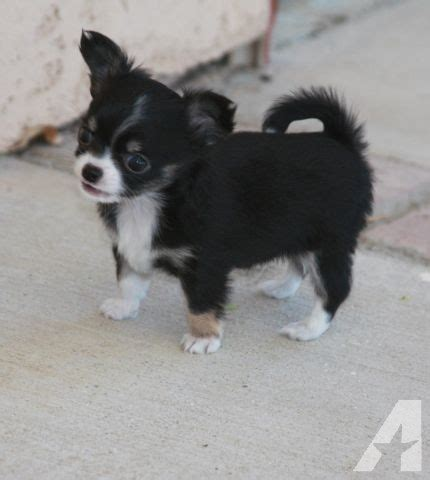 chihuahua puppies for sale in california chihuahua puppies for sale in lakeview california