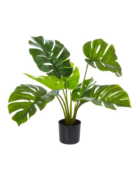 rogue monstera plant myer