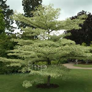 cornus controversa variegata variegated dogwood information pictures cultivation tips