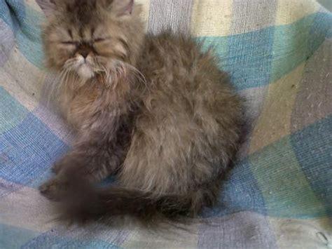 kucing chinchilla jual kucing