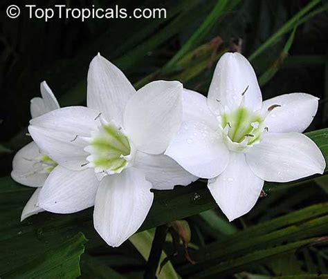 amazon lily eucharis grandiflora amazon lily toptropicals com
