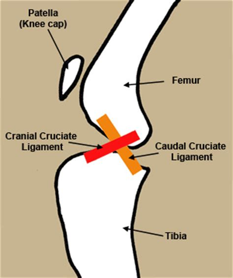 cruciate ligament tear in dogs cranial cruciate ligament anatomy breeds picture