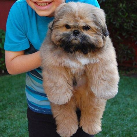 best shoo for shih tzu puppy best 25 shih tzu ideas on shih tzu puppy shihtzu grooming and shitzu puppies
