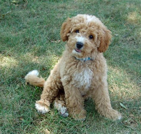 mini goldendoodle how big do they get labradoodle midwest labradoodle olive australian multi