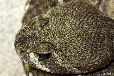 Western Diamond-backed Rattlesnake - Crotalus atrox Western Diamondback Rattlesnake Head