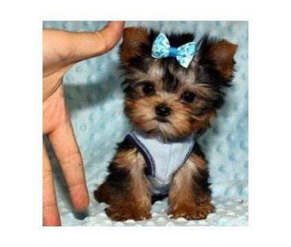 miniature yorkies for sale in louisiana best 20 tiny puppies ideas on