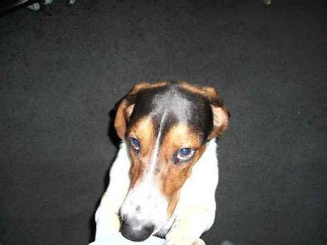 basset hound yorkie mix benny the basset hound mix designer photo gallery 5867
